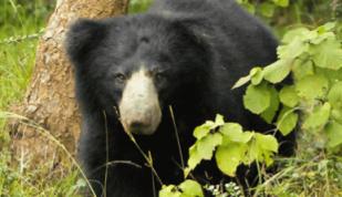 Yala bear