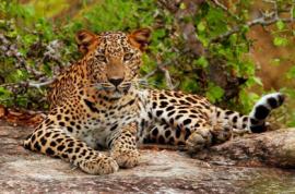 Yala leopard